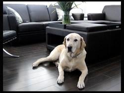 dog on laminate flooring